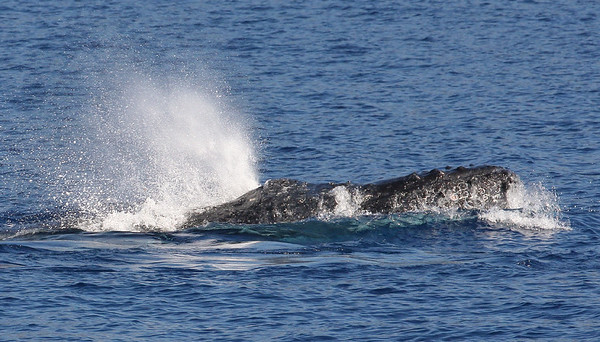 A male participant in a surface-active competition pod executes a violent head lunge to intimidate other males. The white rig-like circles visible on the whale's lower jaw are what's left of hitch-hiking barnacles the whale managed to dislodge. Ma'alaea Bay, Maui – 17 January 2015