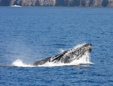 A male Humpback whale in a surface-active competition pod throws its upper body well out of the water in a particularly aggressive behavior known as a head lunge. Males often end a head lunge by slamming down on the body of a competing male, raking the barnacle-encrusted chin plate protruding from the lower jaw back and forth, which occasionally draws blood. Ma'alaea Bay, Maui – 17 January 2015
