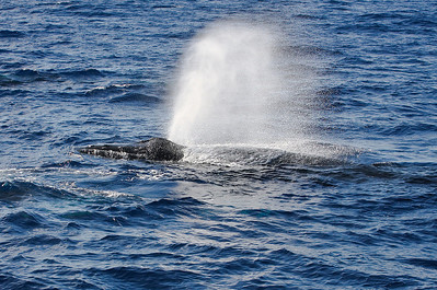 A mature Humpback produces a loud trumpeting exhalation in combination with a plume of atomized seawater as it passes close by my whale boat. 29 Dec 2013