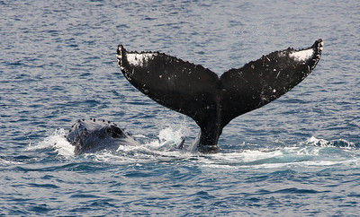 A young Humpback whale calf swimming VERY close to its mother (her head is just to the left of junior's dorsal fin) raises its flukes as if in a parting salute as Mom escorts it away from my boat.  22 February 2014
