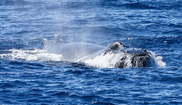 """A member of a small competition pod of Humpback whales thrusts its massive head clear out of the water in an aggressive threat display known as a """"head lunge"""". As this whale was heading directly for the boat, it's not clear who he's trying to intimidate: other males in the comp-pod or my boat!  5 January 2014"""