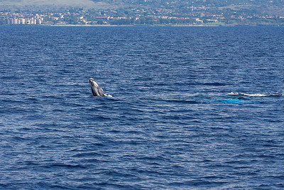 A newborn Humpback whale calf (at left) gamely tries a few breaches as its mother (note turquoise-colored shadow just under the surface a few meters behind the calf) looks on, protectively keeping close watch on her youngster. 19 Jan 2014