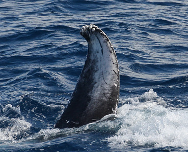 The barnacle-encrusted tip of a Humpback whale's right fluke cuts the water as it dives under my boat.  26 January 2014