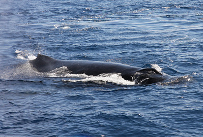 "A young adult Humpback whale parallels my boat, its twin blowholes (""nares"") just breaking the surface.  21 February 2014"