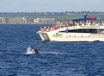 Passengers aboard the MV OCEAN ODYSSEY (Pacific Whale Foundation) crowd the port-side decks to watch a young Humpback whale performing a long series of fluke slaps.  9 February 2014  9 February 2014