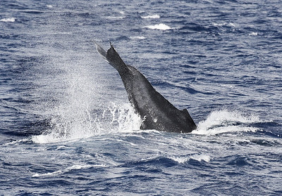 "This Humpback whale calf performed a long series of exuberant in-place fluke slaps for several minutes. Note the prominent light-gray ""racing stripe"" coloration on its flanks, indicating that is a newborn calf possible only several hours old. This coloration disappears a few hours after birth. 9 March 2014"