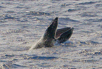 A young Humpback whale calf racing ahead of its mother throws open its jaws to take a much-needed breath, exposing the row of baleen lining its upper jaw.  9 March 2014