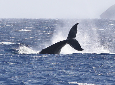A rambunctious Humpback whale calf performs a slashing sideways tail slap known as a peduncle throw. Mature adult whales use this behavior to signal extreme aggression or agitation. 9 March 2014