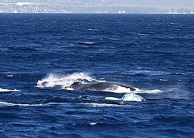 Note the large dome-shaped upwelling of bubbles in the lower-right quadrant of the photo. This poor-quality photo is the only one I have that shows bubble-blowing at the surface.  15 February 2015