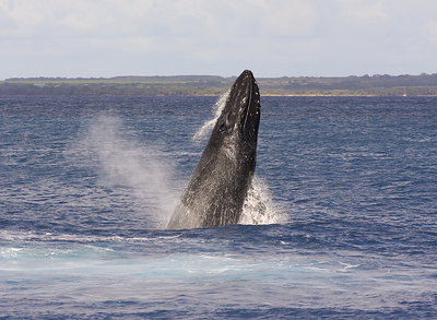 "This member of a four-whale competition pod performed several repetitive breaches. Note the many bump-like tubercles located on the upper and lower jaws. The ""blowhole"" (AKA ""nares"", actually TWO holes) is also visible atop the rostrum. Ma'alaea Bay, Maui -- 4 January 2015"