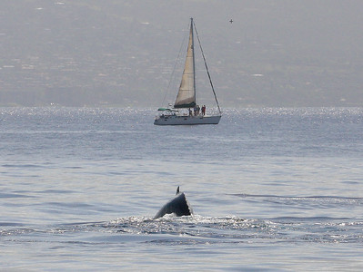 A member of a competition pod heads toward a sailboat that has luffed its mainsail to slow down and get a better look at the surface-active pod.  7 February 2015