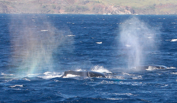 "Another view of the ""rainbow effect."" The wind was so strong, the steam from these whales' exhalations was blown back toward the boat; it included a fair amount of whale snot. — Note to self: NEVER inhale whale snot.  15 February 2015"