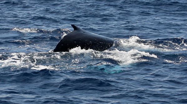 A Humpback whale calf rides the gentle swells, the light turquoise blue-white of one of its pectoral fins just visible below the surface.   8 February 2014