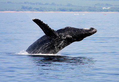 Humpback Whales of Maui: 2009 to 2013