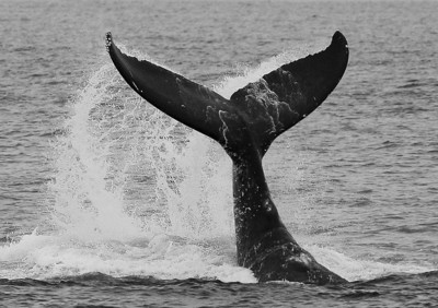 This very young Humpback whale came in close to my boat (closely attended by its mother) and proceeded to executes more than forty continuous fluke-slaps.  2 March 2014