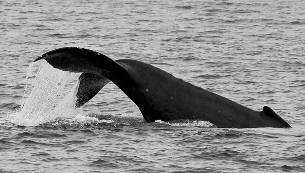 A young Humpback races alongside my boat, performing shallow, energetic flukes-up dives as it goes.  2 March 2014