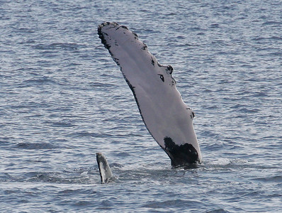 Rolled over onto her left side, a solitary mature female Humpback lazily waves her huge pectoral fin above the surface. This is believed to be a signal to nearby males that she is sexually receptive.  22 February 2014