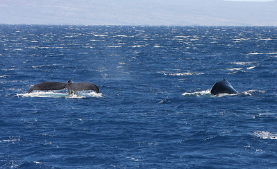 A pair of mature Humpback whales traveling together and going in no particular direction.  15 February 2013