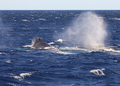 """A member of a surface-active competition pod blows heavily from the exertion of the """"chase"""".   15 February 2013"""