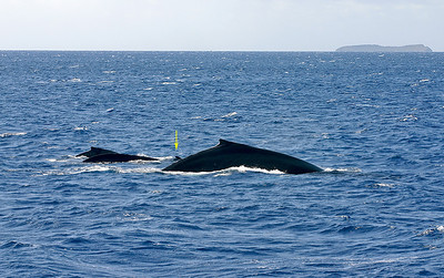 """An """"Odd Pod"""" of Humpback Whales (Megaptera novaeangliae), Ma'alaea Bay, South Maui. In addition to the large mature female in the foreground, a smaller escorting adult in the middle of the pod, and a calf to the left of that whale, this pod includes a Bottlenose Dolphin (Tursiops truncatus, indicated by yellow arrow) that stuck around for the better part of an hour, apparently """"playing"""" with the young calf. This is not unusual behavior for Maui's permanent population of dolphins. Molokini Island looms on the horizon. April 18, 2010."""