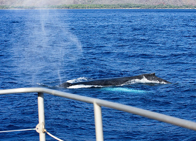 A mature Humpback whale warily passes close by my whale boat; its huge pectoral fins are the turquoise-colored underwater shadow seen just below and to the side of the whale. 29 Dec 2013