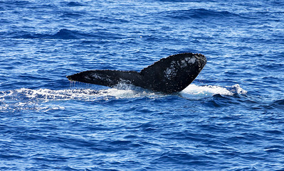 The rapidly disappearing flukes of an immature Humpback whale show the first signs of a coloration pattern on the ventral surfaces of it flukes. These markings with change with time as the youth matures, eventually forming a unique pattern not unlike a human's fingerprints. 29 Dec 2013