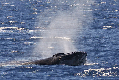 A large male Humpback participating in a particularly violent surface-active competition pod inflates its mouth cavity with hundreds of gallons of seawater, its ventral pleats visibly spreading outward like the pleats of an accordion (linear creases visible just below the open mouth), in preparation for using its head as a bludgeon or battering ram in the increasingly violent shoving match with other males in the comp-pod; the added weight of the seawater adds to the force of the blow.  15 February 2013