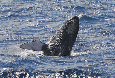 The whale boat (and presumably the calf's mother) had a difficult time keeping up with this junior speedster who was repeatedly breaching as it sped along just ahead of the boat. Its prominent ventral pleats are clearly visible on its underside. 9 March 2014