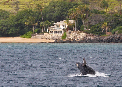 Those of us fortunate to live along Ma'alaea Bay's extensive shoreline are often treated to the sight and sound of breaching baby whales, night or day. 15 March 2014