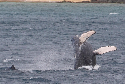 Full of piss-and-vinegar, a young Humpback calf performs an awkward imitation of a breach as its mother (note dorsal fin in bottom-left corner if picture) cruises slowly at its side, keeping a close eye on junior. 15 March 2014