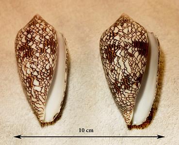 Molluscs of Hawaii